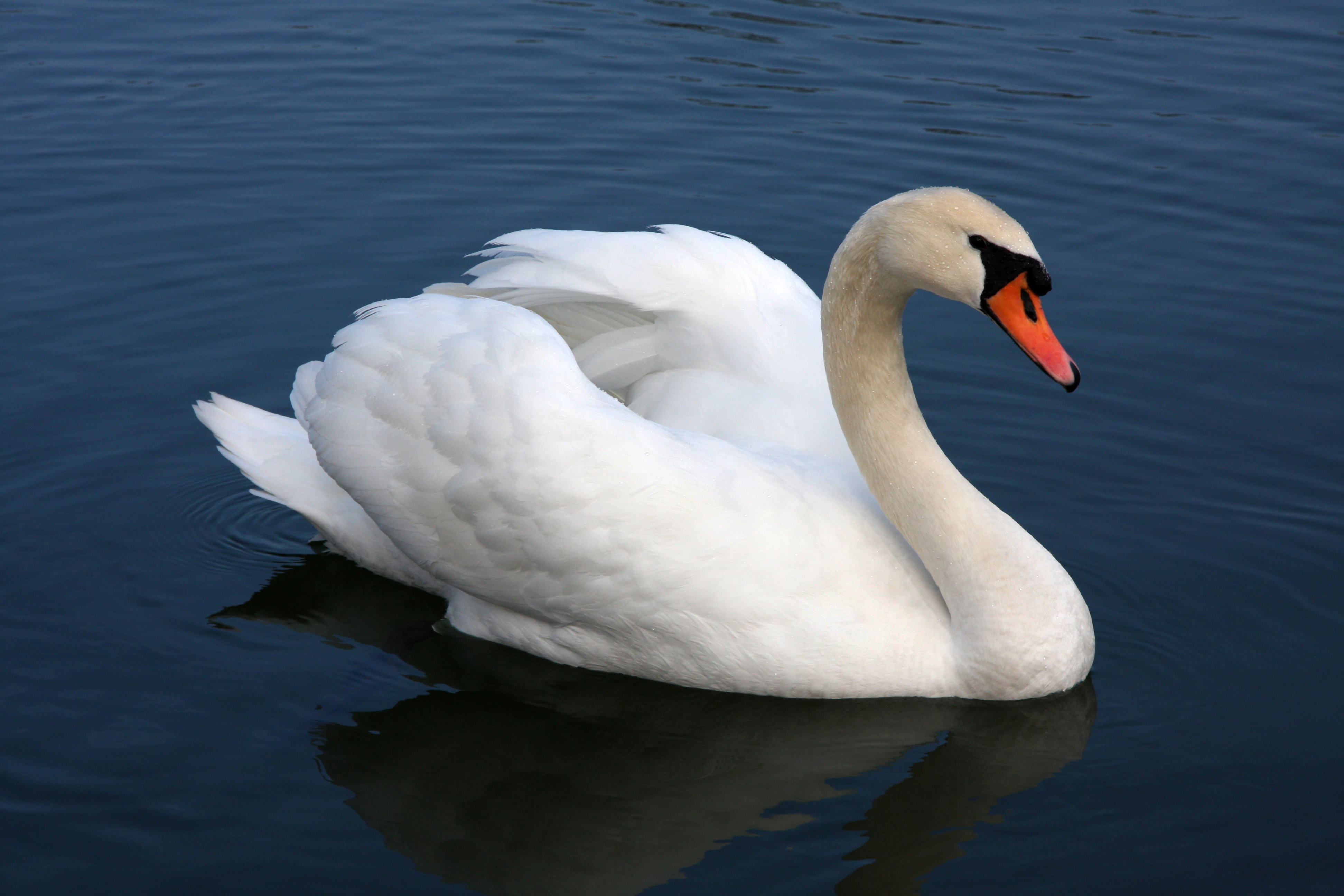 Imposter Syndrome and Graceful Swans